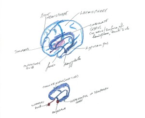 Fig 5 (above) and Fig 6 (below). Relations of the amhgdala to the sense of smell (olfactory bulb and front of temporal lobe) and to emotions and memory (cingulate gyrus and hippocampus). The cingulate gyrus is on the mesail or middle surface of the hemisphere on either side, and continues backward and downwards as the hippocampus of the termporal lobe.l Fig. 5 shows the strucutres in relation to the hemispheres. Fig. 6 shows the structures with teh hemispheres removed.