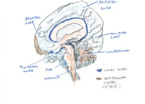 Fig. 3. Mesial (middle) surface of brain, cut from back to front, top to bottom, and looked at from the middle surface. The visible priotions of teh major lobes are marked, as is the cerebellum (balance, smoothness of movement, repetitive movements) the midbrain including the pons, and the hind-brain of medulla. Grey matter is tinted light blue. White matter (pathways of axons) is tinted orange. The pre-frontal cortex is tinted brown. The limbic system (see text) is tinted dark blue.
