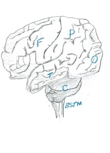 Fig 1. Drawing of brain from the left side