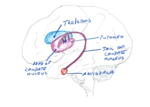 Fig. 4. Drawing to show the deep nuclei of the brain in relation to the outer surface of the hemisphere. Thalamus largely handles sensory input. Putamen and caudate handle preparation for movement and setting up proximal muscle movements(like the upper arms and trunk) to support the movement of the more distal muscles (like movers of the fingers) The amygdala is laregly concnerned with recognizing danger and foes.